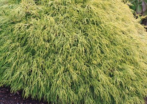 Mops Golden Threadleaf False Cypress Handpicked For You