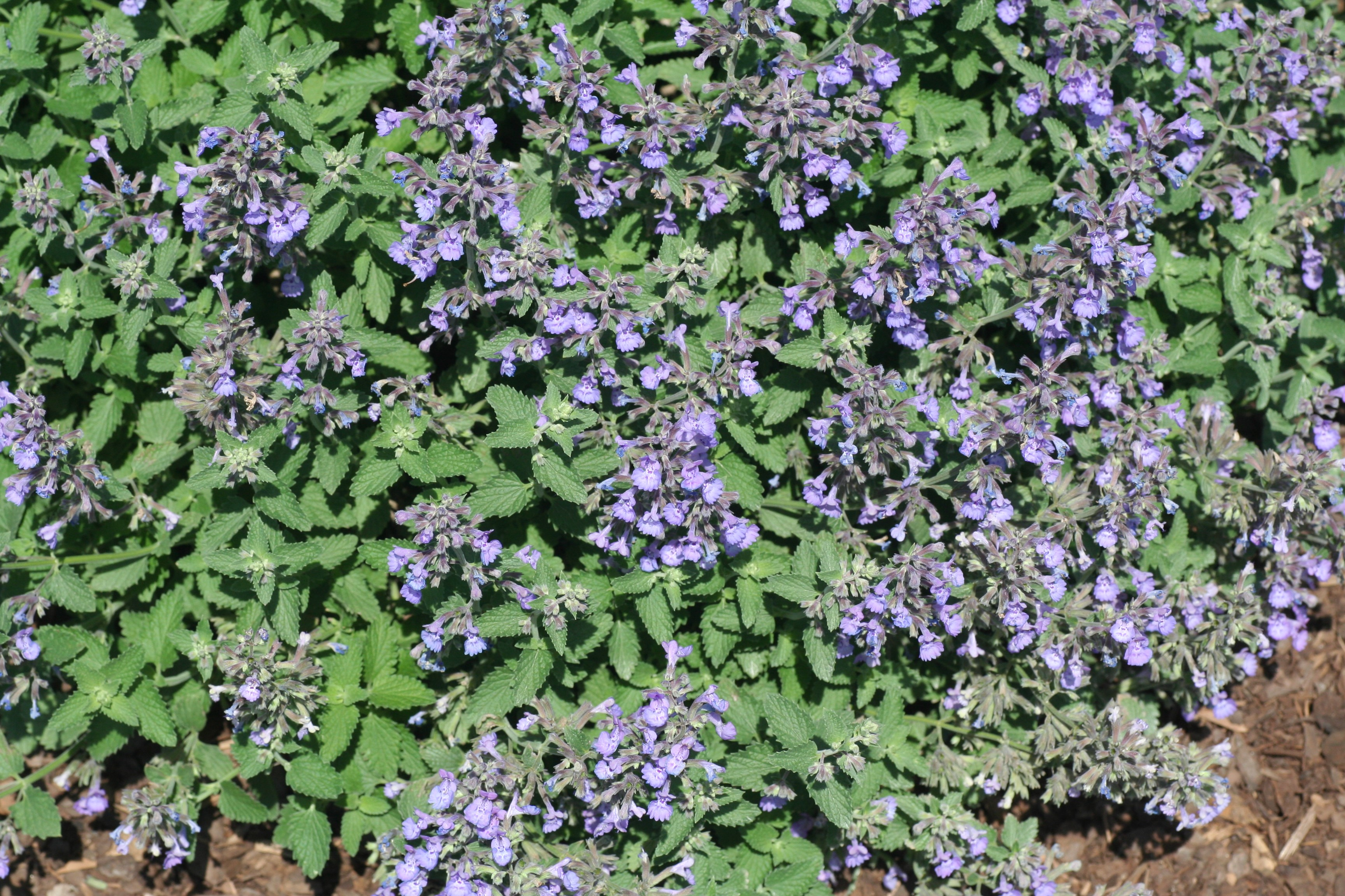 Walker S Low Catmint Handpicked For You
