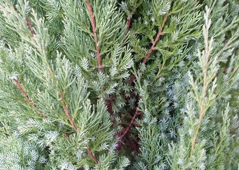 Blue Point Juniper - Handpicked For You